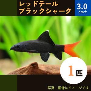 (熱帯魚・コイ)レッドテールブラックシャーク 4cm± 10匹|mame-store