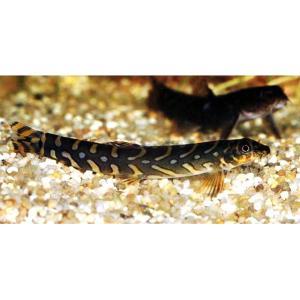 販売名 ゾディアックローチ 学名 emacheilus triangularis 最大体長 10cm