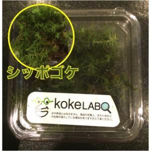 【水草・モス・コケ】シッポゴケ(コケラボ) 2カップ|mame-store