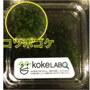 【水草・モス・コケ】コツボゴケ(コケラボ) 2カップ|mame-store