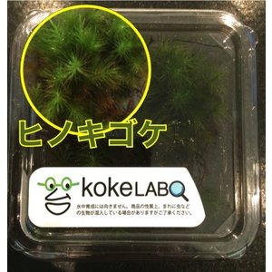 【水草・モス・コケ】ヒノキゴケ(コケラボ) 1カップ|mame-store