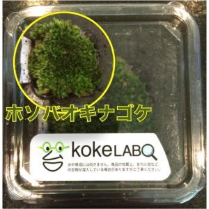 【水草・モス・コケ】ホソバオキナゴケゴケ(コケラボ) 2カップ|mame-store