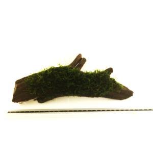 (水草) Lサイズ流木(20cm±) 南米ウィローモス付き 2個 |mame-store