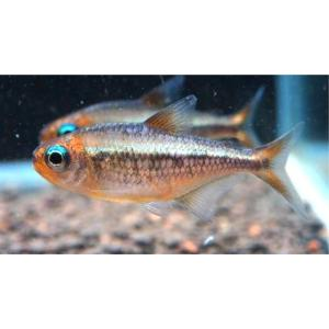 (熱帯魚・カラシン)コギャルテトラ Mサイズ 1匹|mame-store
