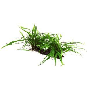 (Tropica・水草) ミクロソリウムナロー付き流木XL 2個|mame-store