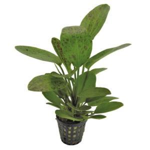 (水草・ロゼット型)エキノドルス オゼロットグリーン(2株)|mame-store