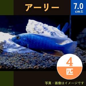 (熱帯魚・アフリカンシクリッド)HAPL.アーリー   9cm± 4匹|mame-store