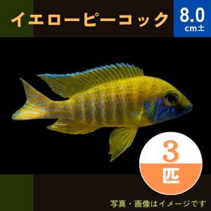 (熱帯魚・アフリカンシクリッド)イエローピーコック 4-5cm  5匹 mame-store