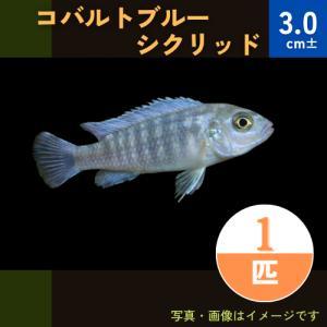 (熱帯魚・アフリカンシクリッド)ゴールデンブルーゼブラシクリッド SMサイズ 5匹|mame-store