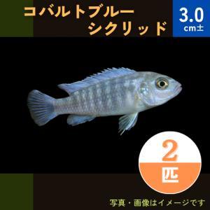 (熱帯魚・アフリカンシクリッド)ゴールデンブルーゼブラシクリッド SMサイズ 10匹|mame-store