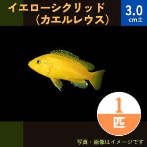 (熱帯魚・アフリカンシクリッド)イエローシクリッド(カエルレウス) 4cm± 1匹|mame-store