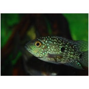 (熱帯魚・シクリッド)テキサスシクリッド 4cm± 3匹|mame-store