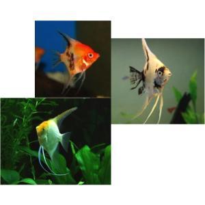 (熱帯魚・エンゼルフィッシュ)ミックスエンゼル(色おまかせ) Lサイズ 3匹|mame-store