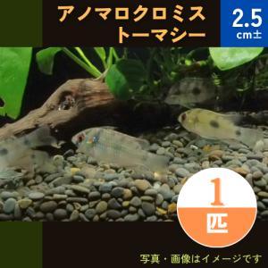 (熱帯魚・シクリッド)アノマロクロミス トーマシー SMサイズ 3匹|mame-store