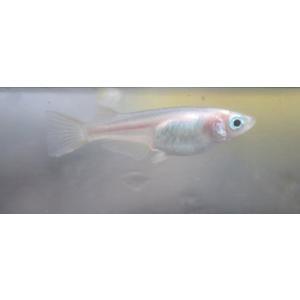(メダカ)白透明鱗メダカ(紅ほっぺ) 1匹|mame-store