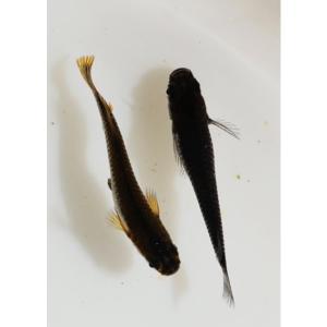 (メダカ)黒蜂メダカ 10匹|mame-store