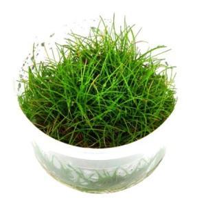 (Tropica・水草) へアーグラスショート 1・2・grow!(tropicaトロピカ) 2カップ|mame-store