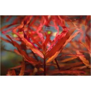 (有茎草・水草) アマニア・グラキリス 水中葉 (1束分)|mame-store