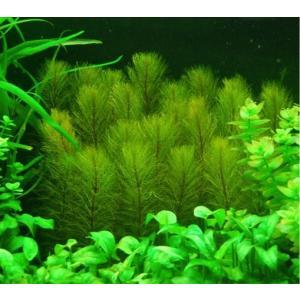 (有茎草・水草) グリーンミリオフィラム 水中葉 (1束分)|mame-store