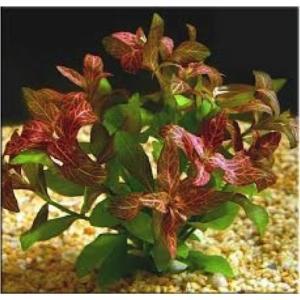 (有茎草・水草) ハイグロフィラ・ロザエネルビス 水中葉 (1束分)|mame-store