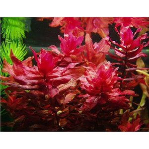 (有茎草・水草) レッドリーフバコパ 水中葉 (1束分)|mame-store