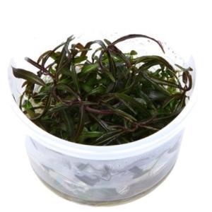 (Tropica・水草) ハイグロSP アラグアイ 1・2・grow!(tropicaトロピカ) 2カップ|mame-store