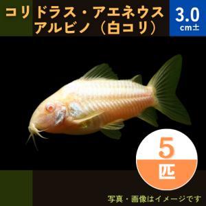 (熱帯魚・コリドラス)コリドラス・アエネウス・アルビノ SMサイズ 5匹|mame-store