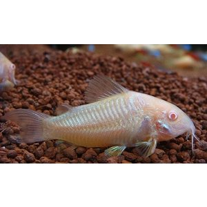 (熱帯魚・コリドラス)コリドラス・アエネウス・アルビノ SMサイズ 20匹|mame-store