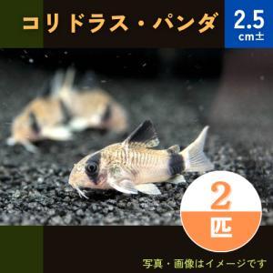 (熱帯魚・コリドラス)コリドラス・パンダ SMサイズ 5匹|mame-store
