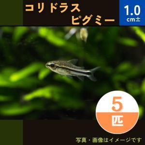 (熱帯魚・コリドラス)コリドラス・ピグミー SMサイズ 5匹|mame-store