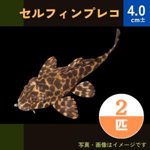 (熱帯魚・プレコ)セルフィンプレコ SMサイズ 5匹|mame-store
