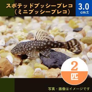 (熱帯魚・プレコ)スポテッドブッシープレコ 3cm± 2匹|mame-store