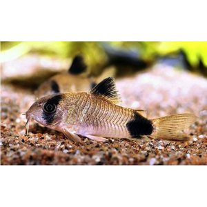 (熱帯魚・コリドラス)コリドラス・パンダ SMサイズ 3匹|mame-store