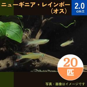 (熱帯魚・レインボーフィッシュ)ニューギニアレインボー オス SMサイズ 20匹|mame-store
