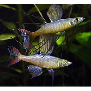 (熱帯魚・レインボーフィッシュ)ニューギニアレインボー オス SMサイズ 50匹|mame-store