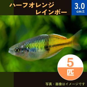 (熱帯魚・レインボーフィッシュ)ハーフオレンジレインボー SMサイズ 30匹|mame-store
