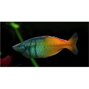 (熱帯魚・レインボーフィッシュ)ハーフオレンジレインボー SMサイズ 50匹|mame-store