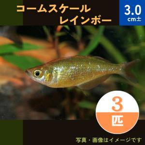 (熱帯魚・レインボーフィッシュ)コームスケールレインボー  SMサイズ 10匹|mame-store
