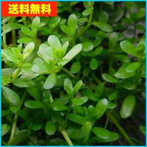 【送料無料・水草】 バコパ・モンニエリ 水上葉 (国産・無農薬) 5本|mame-store