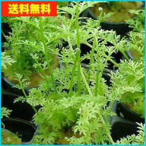 【送料無料・水草】 アメリカンスプライト 水上葉 (国産・無農薬) 5本|mame-store