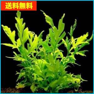 【送料無料・水草】 ウォータープライト 水上葉 (国産・無農薬) 10本|mame-store
