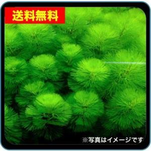 【送料無料・水草】 カボンバ  (国産・無農薬) 45本|mame-store