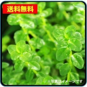【送料無料・水草】 グリーンロタラ 水上葉  (国産・無農薬) 10本|mame-store