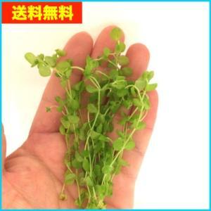 【送料無料・水草】 ラージパールグラス  水中葉  10本|mame-store