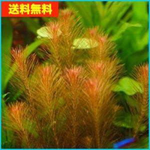 【送料無料・水草】 リスノシッポ  水中葉  10本|mame-store