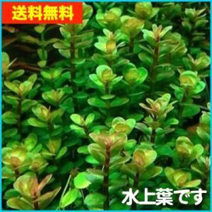 【送料無料・水草】 ロタラ・インジカ 水上葉  (国産・無農薬) 10本|mame-store