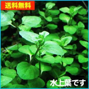 【送料無料・水草】 ウォーターカーナミン  水上葉 (国産・無農薬) 10本|mame-store
