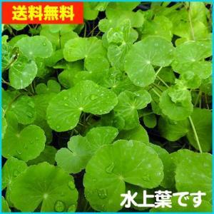 【送料無料・水草】 アマゾンチドメグサ  水上葉 (国産・無農薬) 10本|mame-store