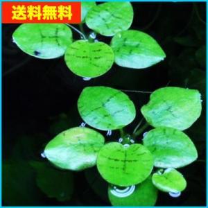 【送料無料・水草】 ドワーフアマゾンフロッグピット  (国産・無農薬) 10株|mame-store