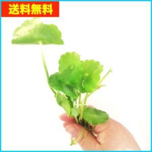 【送料無料・水草】 ウォーターマッシュルーム 水上葉 10本  |mame-store